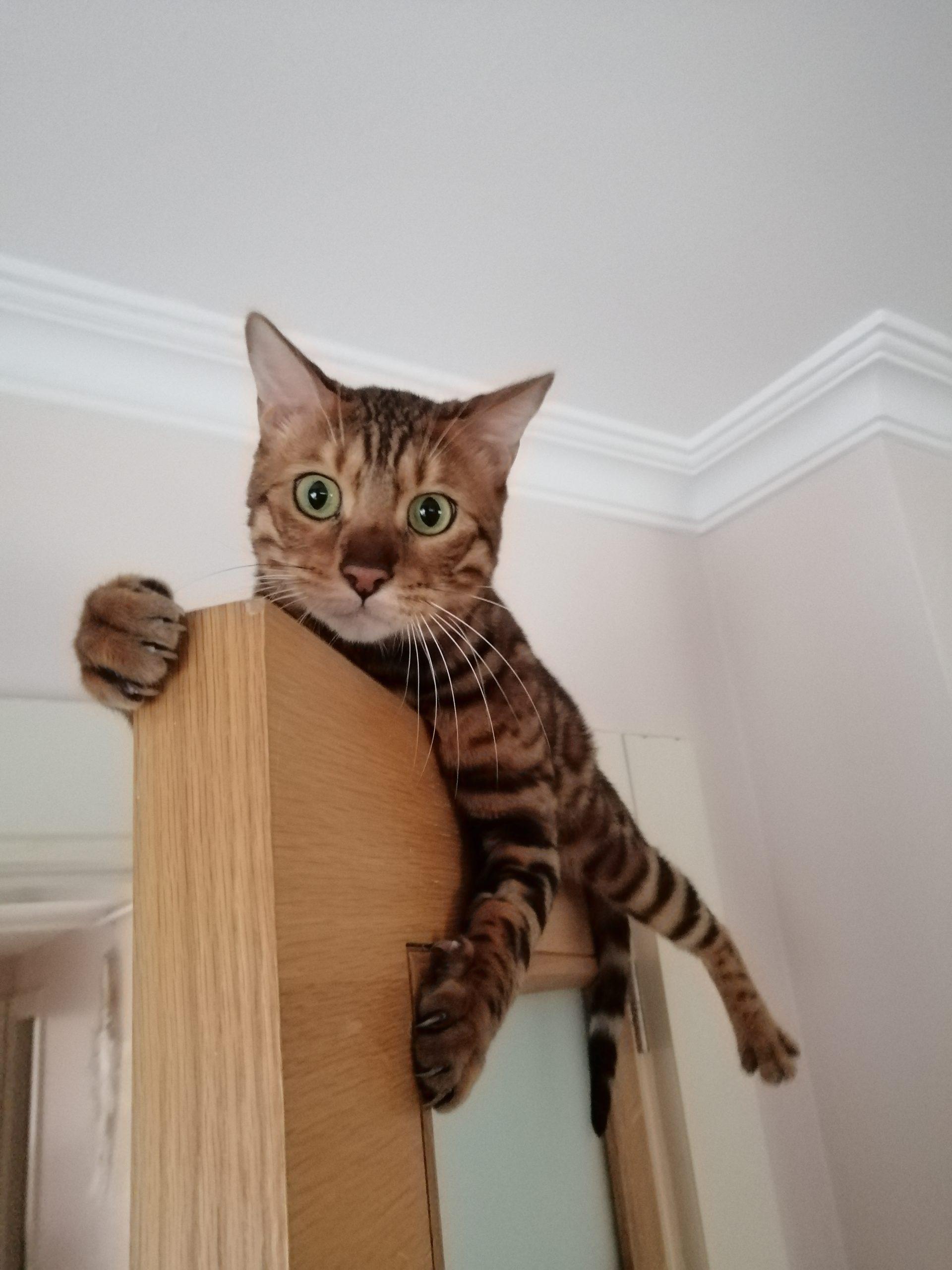 Bengal Kedi Bakımı Nasıl Olmalı?